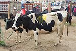 Cows For Sale, Otovalo Market