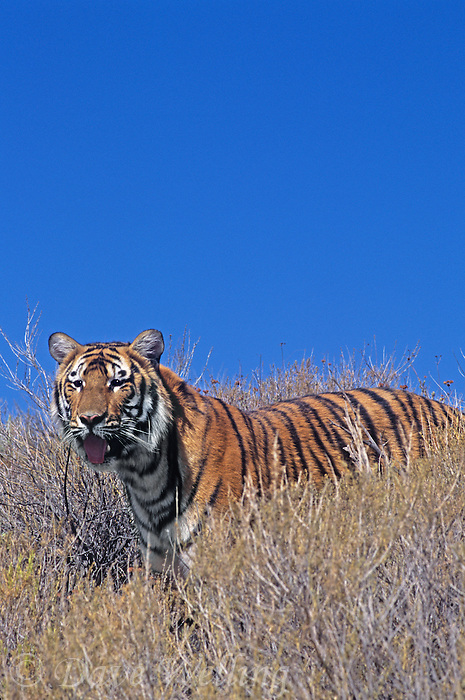 683999278 a captive bengal tiger panthera tigris stands on a grass covered hillside species is endangered and this animal is a wildlife rescue