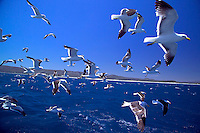GANSBAAI, SOUTH AFRICA, DECEMBER 2004. Seagulls go for the chum floating behind the boat. Brian Mc Farlane organises Great White Shark cage diving tours out of Gansbaai. Gansbaai is one of the best places in the world to see the Great white in its natural habitat. Photo by Frits Meyst/Adventure4ever.com