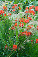 Crocosmia Lucifer red flower bulbs planted with Stipa calamagrostis ornamental grass showing red flowers and feathery plumes together in good garden design