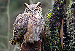 Great horned owl, Washington