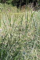 Panicum virgatum 'Northwind' switch grass, ornamental grass in summer bloom
