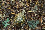 Eastern box turtle (Terrapene carolina), Hemlock Bluffs Nature Preserve, North Carolina