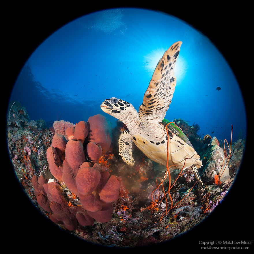 Misool, Raja Ampat, Indonesia; Fiabacet area, a Hawksbill turtle (Eretmochelys imbricata) begins to swim after feeding on a red sponge