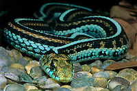 432503001 a captive san francisco garter snake thamnophis sirtalis tetrana liea coiled on small rocks this specimen is a zoo animal