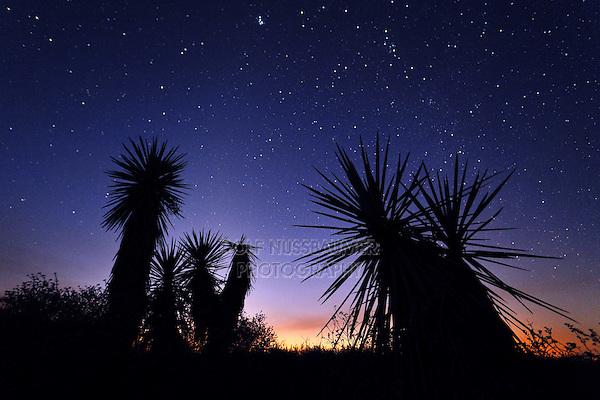 Trecul Yucca, Spanish Dagger (Yucca treculeana), sunset, Dinero, Lake Corpus Christi, South Texas, USA