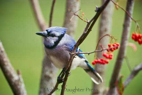 Blue jay, cyanocitta cristatta, perches among holly berries and white tree trunks Midwest USA