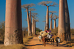 Large cows known as zebus pull a cart past iconic baobab trees in rural Madagascar, where they are the most common form of transportation. Madagascar's climate also suits the baobab tree, which stores water in order to survive the long, dry season that dominates the year. Baobab Alley, Madagascar