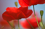 Field Poppy, Papaver rhoeas, close up looking up at flower heads against blue sky.France....