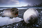 Southern elephant seal weaners, South Georgia Island