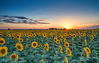 more fields of sunflowers