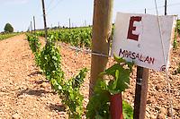 marselan in the vineyard