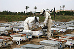 Palestinian beekeepers tend their bees farm in the northern Gaza Strip town of Beit Lahiya. Beekeepers collect honey and wax from the beehives at this time of year.