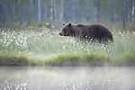European Brown Bear, Ursus arctos arctos, Kuhmo, Finland, Lentiira, Vartius near Russian Border, foraging in forest near lake,