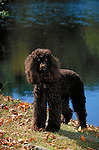 Poodle<br />