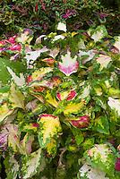 Solenostemon (Coleus) 'Chameleon', annual foliage plant in pink maroon, green, cream yellow