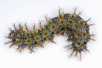 Buck Moth caterpillar (Hemileuca maia). The larvae are covered in hollow spines that are attached to a poison sack. The poison can cause symptoms ranging from itching and burning sensations to nausea.
