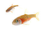 Rosyside Dace (Clinostomus funduloides) & Yellow-Fin Shiner (Notropis lutipinnis), Oil Camp Creek, Greenville, South Carolina (composite)