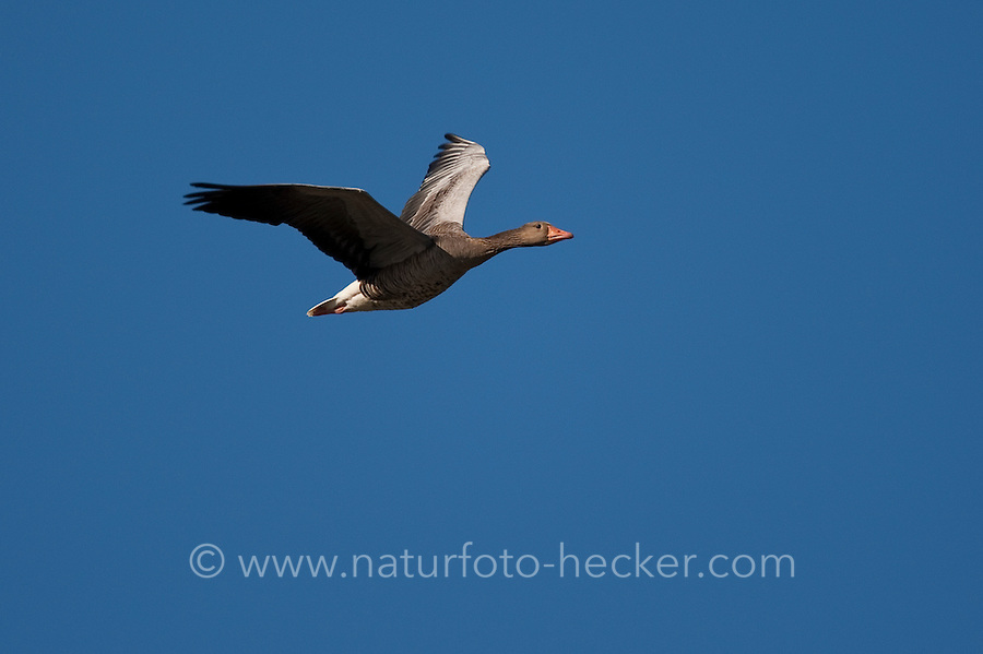 Graugans, im Flug, Flugbild, fliegend, Grau-Gans, Gans, Anser anser, graylag goose, grey lag goose