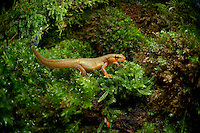 Palmate Newt (Triturus helveticus) female crawling across moss.