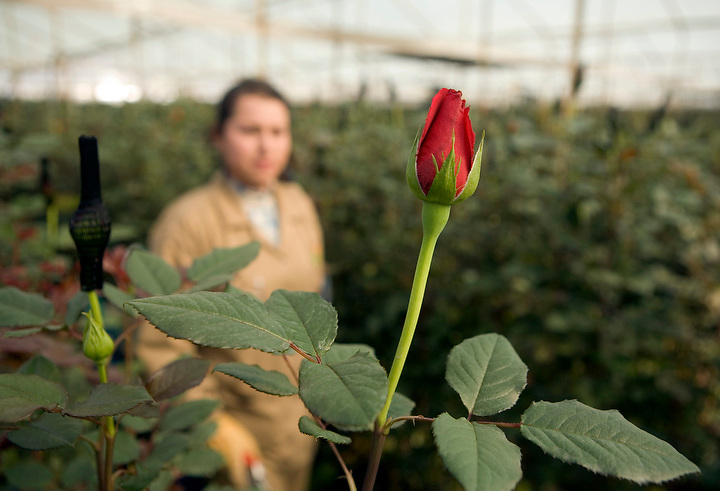 BOGOTA, COLOMBIA -- JANUARY 21:  A rose ready for harvest at Alpes Flowers near Bogota on January 21, 2007. (Photo by Dennis Drenner/Aurora).