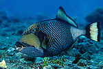 Milne Bay, Papua New Guinea; Titan Triggerfish (Balistoides viridescens), to 75 cm (2 ½ ft.), solitary, nesting females will attack divers, live in lagoon and outer reefs in 3-50 meters, found in Red Sea and E. Africa to Line and Tuamotu Island in French Polynesia, S. Japan to Australia , Copyright © Matthew Meier, matthewmeierphoto.com All Rights Reserved