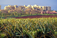 Pineapples are still one of Maui's main agricultural products. Hand-planted crowns mature in 18 months in the center of a prickly bush. The plants have several viable harvests.