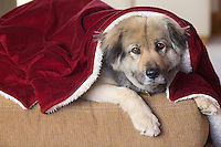 portrait of a sweet German Shepard dog sitting under a red blanket