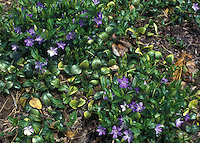 Vinca minor Bowles Variety aka La Grave groundcover in flower