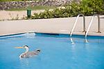 Puerto Ayora, Santa Cruz Island, Galapagos, Ecuador; a Great Blue Heron (Ardea herodias) bird floating in the swimming pool at the Finch Bay Eco Hotel , Copyright © Matthew Meier, matthewmeierphoto.com All Rights Reserved