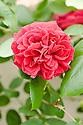 Rosa Tess of the D'Urbervilles ('Ausmove'), a climbing English rose from David Austin.