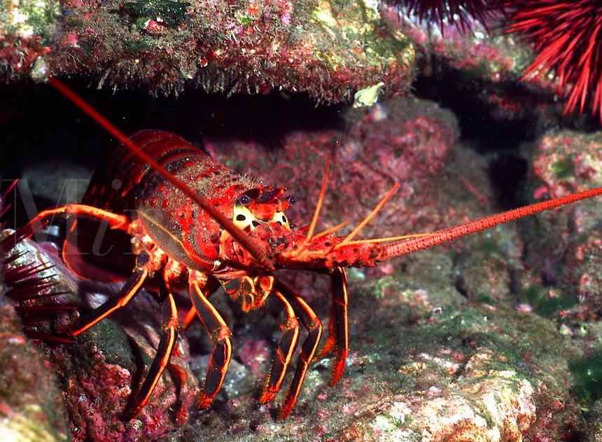 California spiny lobster.(Panulirus interruptus)