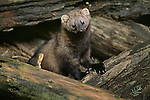 A curious Fisher peeks out from some downed logs
