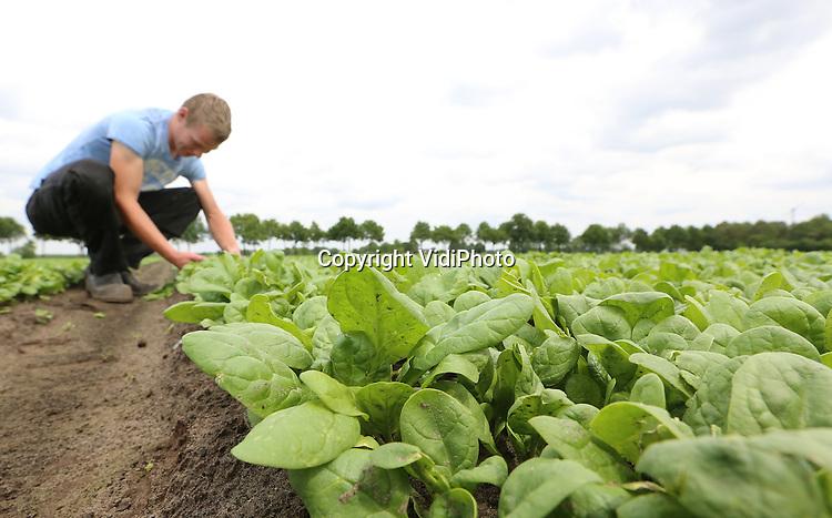 Foto: VidiPhoto<br /> <br /> BAARLO - Groentekweker Frans van de Goorbergh uit het Brabantse Baarlo oogst spinazie.