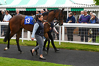 Gaelic Spirit in the parade ring during Afternoon Racing at Salisbury Racecourse on 18th May 2017