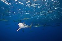 RM0875-D. Silky Sharks (Carcharhinus falciformis), dozens gathered together to feed on small fish in baitball, including juvenile Dolphinfish (Coryphaena hippurus) and juvenile Bigeye Jacks (Caranx sexfasciatus) in upper right. Baja, Mexico, Pacific Ocean<br /> Photo Copyright &copy; Brandon Cole. All rights reserved worldwide.  www.brandoncole.com