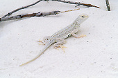 Bleached Earless Lizard (Holbrookia maculata ruthveni), White Sands National Monument, New Mexico, USA.