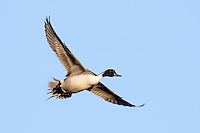 Northern Pintail in flight at Bosque Del Apache NWR