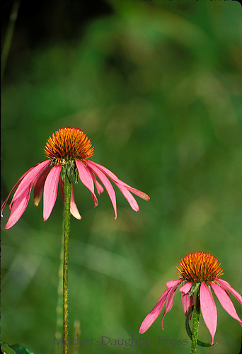 Two Coneflower, Echinacae purpura, flowers close up-- a hardy native plant that is a favorite of butterfies, insects, and bees