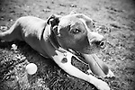 American Staffordshire Terrier.  Owner - Beth Woodsen , Pet Portrait Photography