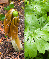 Podophyllum pelatum emerging new growth and summer foliage, composite picture