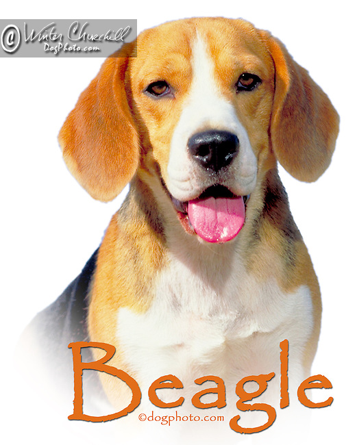beagle This design is offered on gift merchandise ONLY.<br />