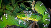 Emerald Tree Boa (Corallus caninus) shedding skin, native to Papua New Guinea, captive.