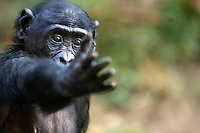 Bonobo young female reaching out (Pan paniscus), Lola Ya Bonobo Sanctuary, Democratic Republic of Congo.