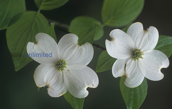 Dogwood flowers (Cornus florida), North America.