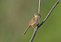 578680018 a wild male botteri's sparrow aimophila botteri perches on a dead stick in the madera grasslands near madera canyon pima county arizona united states