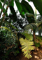 Tropical Rainforest Glasshouse (formerly Le Jardin d'Hiver or Winter Gardens), 1936, René Berger, Jardin des Plantes, Museum National d'Histoire Naturelle, Paris, France.  Low angle view from the ground of the Tropical vegetation below the leaves of a Musa banana plant against the glass and metal walls of the Art Deco building lit by the midday light.
