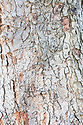 Trunk and bark of Hungarian or Italian maple (Acer obtusatum).