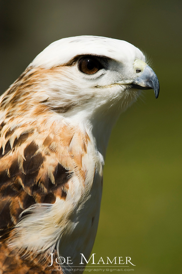 "Krider's red-tailed hawk (Buteo jamaicensis ""kriderii"") portrait. The Krider's red-tailed hawk is paler than other Red-tails, especially on the head. Captive bird from the Minnesota Raptor Center"
