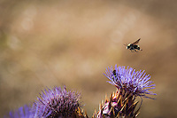One bee flies above the lavender flower of a thistle bloom while another dives deep into the flower.  Oyster Bay Regional Shoreline, San Leandro, California.